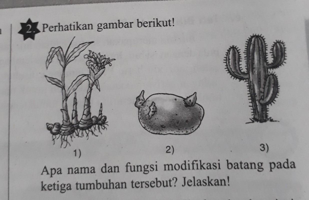 Apa nama dan fungsi modifikasi batang pada ketiga tumbuhan ...
