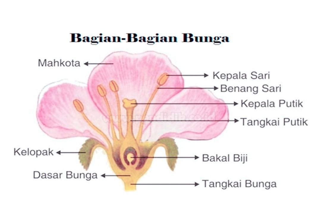 Gambar Bagian Bunga Kamboja Dan Penyerbukannya Brainly Co Id