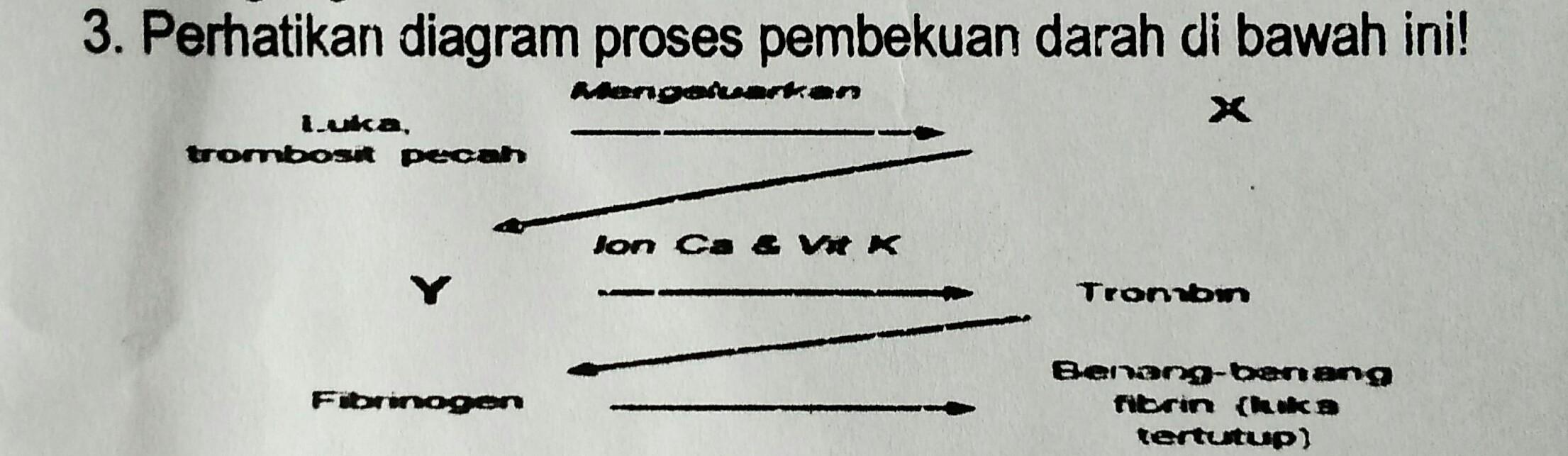 Berdasarkan diagram di atas x dan y secara berturut turut adalah berdasarkan diagram di atas x dan y secara berturut turut adalah a fibrinogen dan trombokinase trombaplastin b trombokinase tromboplastin dan ccuart Images