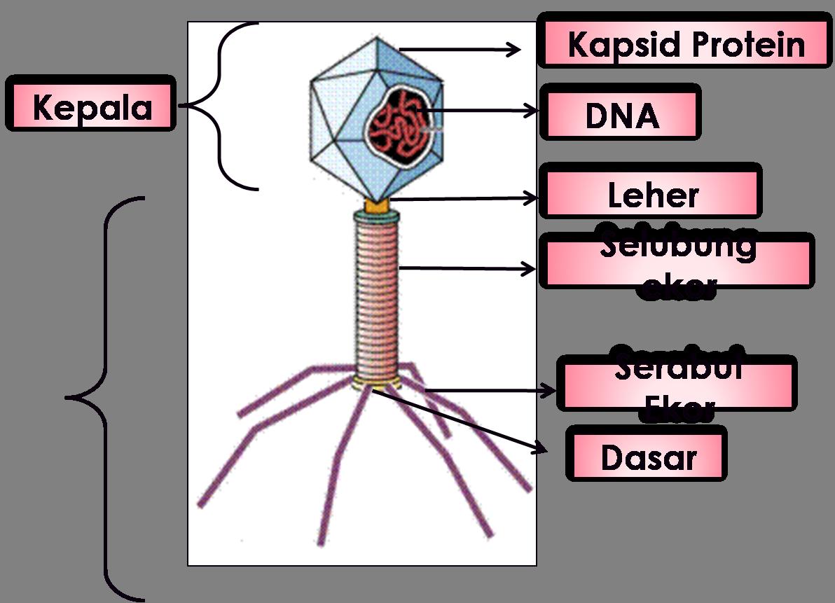 Jelaskan Struktur Tubuh Virus Melalui Gambar Brainly Co Id