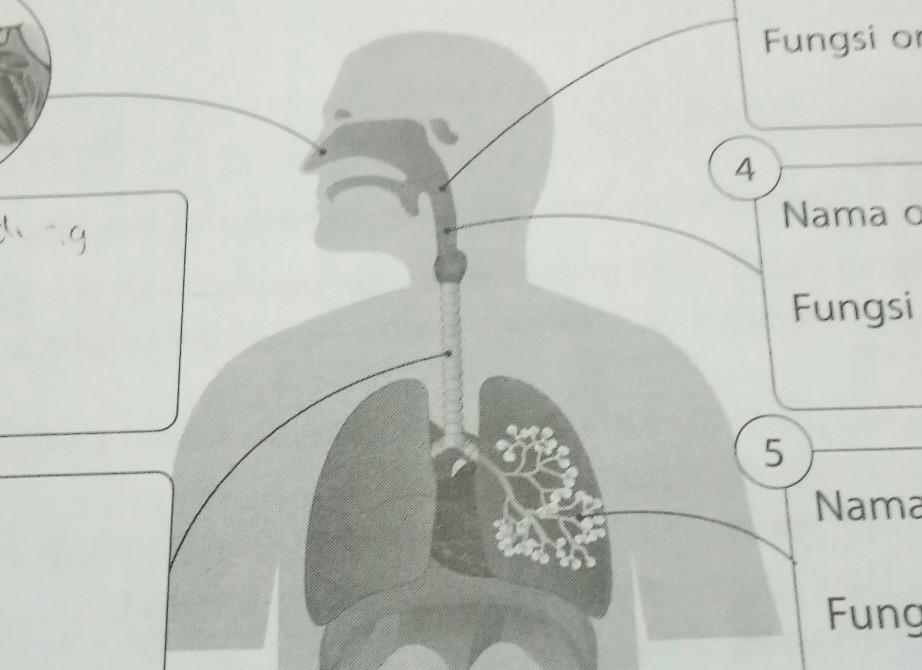 Perhatikan Gambar Sistem Pernapasan Pada Manusia Berikut Isilah Nama Organ Dan Fungsinya Dengan Brainly Co Id